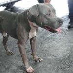 Tank,  pit bull euthanized after fatal attack.  (Miami-Dade Animal Services)