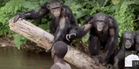 Abandoning Vilab Ii Chimps In Liberia New York Blood